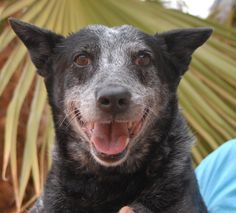 Carolina is wise and loyal.  She beams when she knows you are happy with her.  Carolina is an Australian Cattle Dog, 8 years of age and spayed, good with other dogs, and debuting for adoption today at Nevada SPCA (www.nevadaspca.org).  We rescued her from another shelter that asked for our help.
