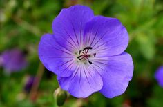 Geranium ROZANNE 'Gerwat' PBR AGM    Flower  Blue and White in Autumn and Summer  Foliage  Green in Autumn, Spring and Summer