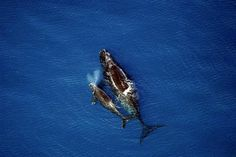 A stretch of the southern Atlantic coast needed by endangered right whales to survive will receive more federal oversight under a decision that's expected to put greater government scrutiny on efforts to locate and drill for oil and gas off the South Carolina seashore.