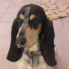 Happy Birthday to JANOU d'An Naoned ! Female Basset bleu de Gascogne borned 18/09/14 (Hildegarde d'An Naoned x Hamio d'An Naoned) who lives in Belgium - Picture : Mrs de Regt #basset #bassetbleudegascogne #dogbirthday #belgium