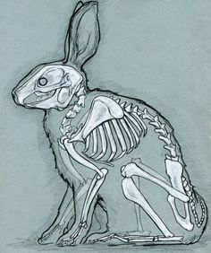 rabbit skeleton. would love to see someone do a series like this