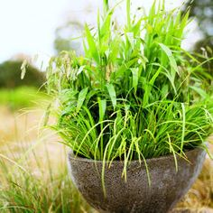 Wild about grasses Why have a lawn when you can have a meadow? A passionate grower John Greenlee shares his secrets for using grasses in pots and beds
