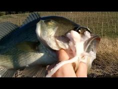 Big Pre-Spawn Largemouth on the new Lunker Lizard