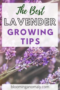 Check out the best lavender growing tips. You can grow lavender from seed indoors or grow a small plant outdoors in a pot to display on your porch or patio. Click on the pin to start growing lavender today. #lavender Dried Lavender Flowers, Growing Lavender, Lawn And Garden, Garden Tools, Garden Ideas, Potting Soil, Small Plants, Companion Planting, Gardening
