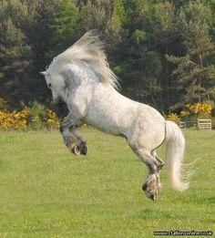 Highland Pony going BOING!!