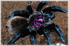 Dean # s Pets 1 - Xenesthis intermediate , Types Of Spiders, Spiders And Snakes, Cool Insects, Bugs And Insects, Beautiful Creatures, Animals Beautiful, Pet Tarantula, Animals And Pets, Cute Animals