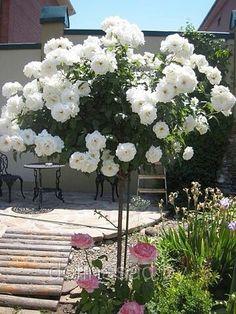 Rare Flowers, Amazing Flowers, White Flowers, Garden Trees, Garden Art, Living Room Plants Decor, Rose Garden Design, Rose Trees, Diy Garden Projects