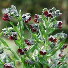 Hound's Tongue - Cynoglossum officinale
