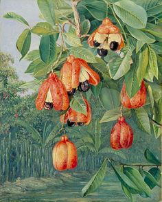 Foliage and Fruit of the Akee, Jamaica by Marianne North Location:Jamaica Plants: Akee, Blighia sapida (C) Kew Gardens, London http://www.kew.org/mng/gallery/plant-portraits