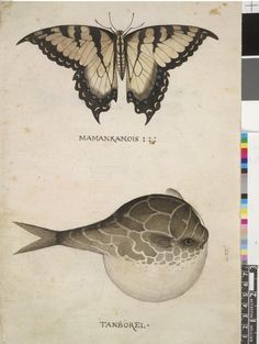 America's First Pictures:  Detail from Hariot's Briefe and True Account of the New Found Land of Virginia, 1590, showing a local butterfly and a pufferfish.