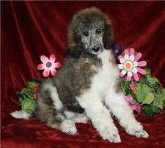 50 Best Poodle Puppies Images Poodle Poodle Puppies For