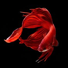 Being a lover of fish from a young age, Angkatavanich took photos of his Siamese fighting fish, or Bettas as they are more commonly known. Description from photovide.com. I searched for this on bing.com/images