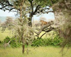 Lion, Serengeti Tanzania, Lion, Africa, Photos, Leo, Lions, Pictures, Photographs, Afro
