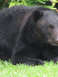 A black bear fell asleep in a yard in Seminole County, Florida after stealing and eating a whole bag of dog food from a nearby garage.