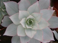 Another beautiful succulent to add to your moon garden.  Echeveria cante