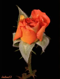 GIFS DE NATURALEZA: Flores abriendose
