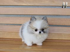 Adorable Amazing Dawson ~ Beautiful Party Color Male Pom Micro Teacup Available!