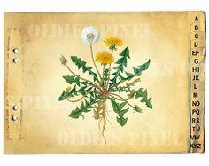Taraxacum Officinale Dandelion Plant Drawing by OldiesPixel, $3.25 Dandelion Plant, Printable Images, Taraxacum Officinale, Plant Drawing, Art Design, Clipart, Illustration, Vintage, Drawings