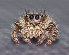 I have done spiders in the past but a jumping spider would be a thrill.