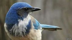 Scrub jay - este pássaro faz um ritual parecido com um funeral(será que ele sabe o que acontece com a sua mãe natureza?)