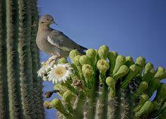 white-winged dove | White-winged Dove Atop A Saguaro Photograph - White-winged Dove Atop A ...