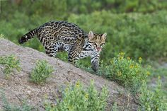 Ocelots and Hill Country Wildlife Small Wild Cats, Big Cats, Fantasy Island, Ocelot, Drawing Skills, Pictures Of You, Cattle, Larry, My Drawings