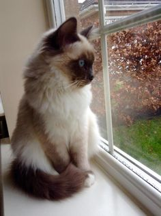 My new Blue Point Birman. Meet Lucas.