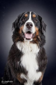 bernese mountain dog - my dream dog Silly Dogs, Big Dogs, Cute Dogs, Dogs And Puppies, Doggies, Animals Of The World, Dogs Of The World, Burmese Mountain Dogs, Entlebucher