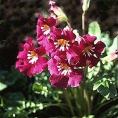 Love the color -- Incarvillea zhongdianensis
