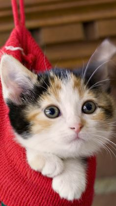 Waiting for Christmas / Cats-Christmas--Community Board Pretty Cats, Beautiful Cats, Animals Beautiful, Cute Kittens, I Love Cats, Crazy Cats, Gato Calico, Calico Cats, Baby Animals