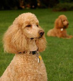 Standard Poodle Dog - JustaDogg
