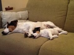 Like father, like daughter! Parson Jack Russell, Jack Russell Mix, Jack Russell Puppies, Parson Russell Terrier, Jack Terrier, Fox Terrier, Puppies And Kitties, Doggies, Parsons Terrier