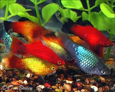 Platy Fish - information about keeping and breeding in aquarium.