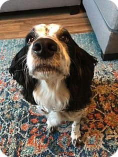 Pictures of Emma - Courtesy Posting a Field Spaniel for adoption in Kannapolis, NC who needs a loving home.
