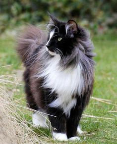 Looks like my mainecoon but my roscoe is calico