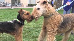 airedale and welsh terrier - Google Search