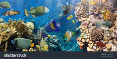 Coral And Fish In The Red Sea.Egypt Стоковые фотографии 154662638 : Shutterstock
