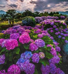 Beautiful Flowers Garden, Amazing Flowers, Pretty Flowers, Purple Flowers, Beautiful Gardens, Flowers Nature, Hortensia Hydrangea, Hydrangea Garden, Hydrangea Flower