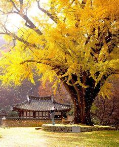 """전승한_동네찍사 on Instagram: """". 가을이 성큼 다가왔구나. 벌써 가을이다. 끝나지 않는 이 #코로나 세상 . . . 네이버 검색창 @동네찍사 검색! . . 👇[사진 해시 태그] #경주 #운곡서원 #은행나무비 👍👍 . =================== #셀스타그램…"""" South Korea Photography, Street Photography, Landscape Photography, Nature Photography, Palaces, Asian Landscape, Real Anime, Dslr Background Images, Nature View"""