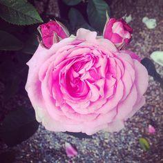 Rdv ce week-ends au château Sainte Roseline pour le salon des roses et des plantes méditerranéennes ;) c'est vraiment un très beau lieu ! #lessimplesdecharlotte #rose #succulente #cosmetiquebio #organic #chateausainteroseline