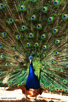 """The peacock """"Pavo real"""" by Andres Falk C on 500px"""
