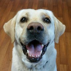 Dean Dog • Yellow Labrador Retriever • Adult • Male • Large Columbiana County Dog Pound & Adoption Center Lisbon, OH