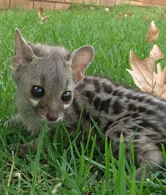 A stunning large-spotted genet named Nora looks adorable as she sits in green grass at the National Zoo of Africa. When Nora was only a few days old, she was snatched up by an owl, but managed to get away. She was found and immediately treated. She is currently being cared for by her adopted human mother. Shes precious!