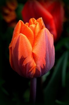 Golden tulip