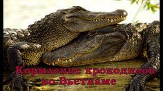 Кормление крокодильчиков во Вьетнаме