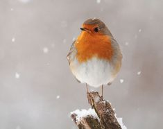 Photo Winter Robin by Julian Rad on Robin Pictures, Robin Photos, Cute Creatures, Beautiful Creatures, Robin Bird, Christmas Drawing, Kinds Of Birds, Winter Photos, Backyard Birds