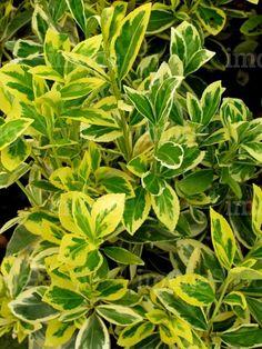 Sorvarinlaakeri: Euonymus japonicus Bravo Gold Yellow Golden Cream Green Variegated Foliage in Spring