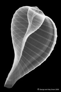 X-RAY Photo of a Fig shell