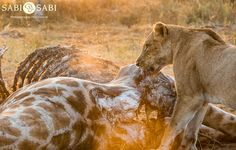 After feeding on the giraffe carcass for the night, the Charleston's had to defend their meal against a clan of 14 hyenas. Private Games, Game Reserve, Hyena, Tigers, Charleston, Lions, Panther, South Africa, Giraffe