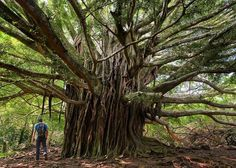 Hotels-live.com/pages/sejours-pas-chers - Photo by @tylermetcalfe // A banyan tree found on the Pīpīwai Trail in Haleakalā National Park Maui Hawaii. These massive trees are figs that have germinated and grown inside another host tree. The seeds of the plant fall into the cracks of a host tree and if lucky enough germinate. Over time it drops its roots and branches around its host supporting both trees. Also interesting: The trees' seeds are dispersed by birds and pollinated by fig wasps…